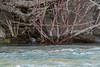 American Dipper fledgling