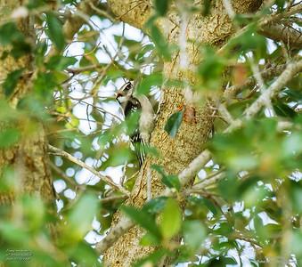 P1160052_ Downy  woodpecker