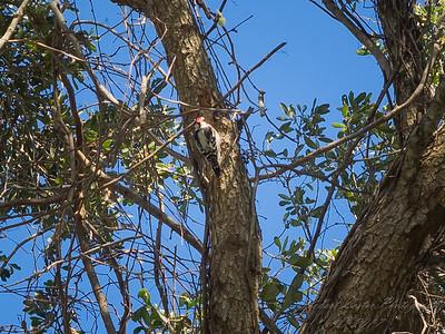 Downy woodpecker,2017-12-11-111204