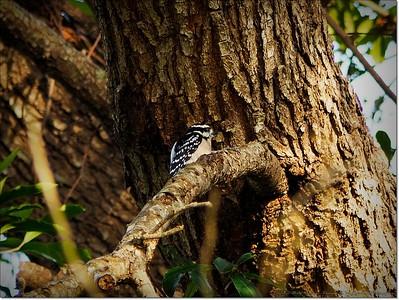 2014-12-27__C271625_Downy Woodpecker