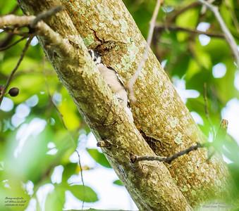 P1160012_ Downy  woodpecker
