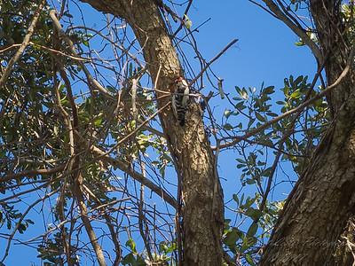 Downy woodpecker,2017-12-11-111202