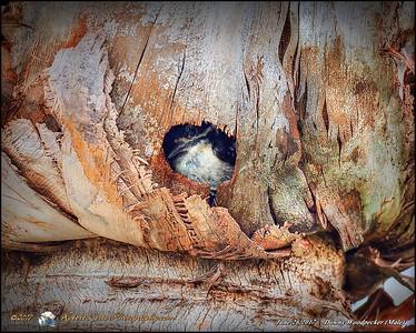 2017-06-26_male downy woodpecker,clwtr_P6260512_2 - A Kittenkiss
