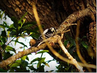 2014-12-27__C271574_Downy Woodpecker