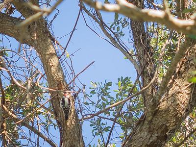Downy woodpecker,2017-12-11-111205