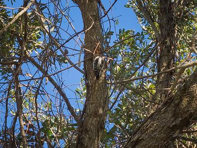 Downy woodpecker,2017-12-11-111201