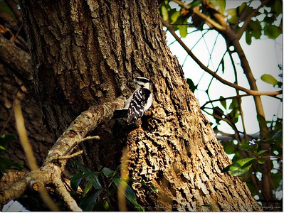 2014-12-27__C271681_Downy Woodpecker