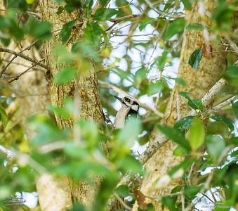 P1160047_ Downy  woodpecker