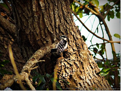 2014-12-27__C271680_Downy Woodpecker