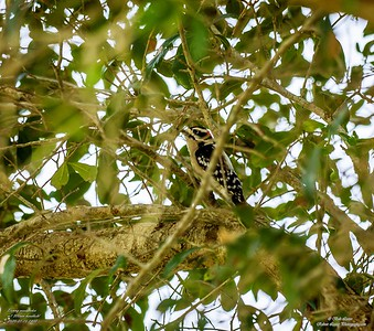 P1160058_ Downy  woodpecker