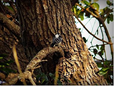 2014-12-27__C271703_Downy Woodpecker