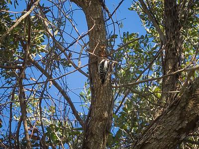 Downy woodpecker,2017-12-11-111200