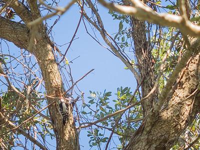 Downy woodpecker,2017-12-11-111206