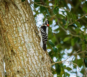 P1160042_ Downy  woodpecker