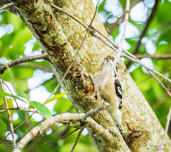 P1160026_ Downy  woodpecker