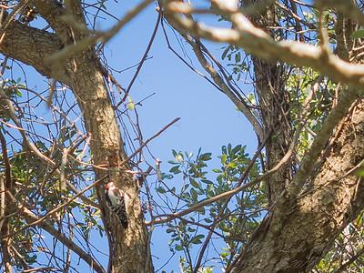 Downy woodpecker,2017-12-11-111207