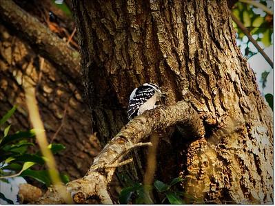 2014-12-27__C271630_Downy Woodpecker