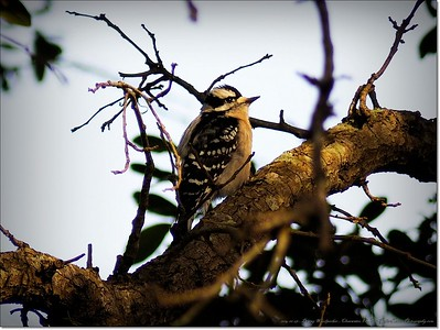 2014-12-27__C271975_Downy Woodpecker