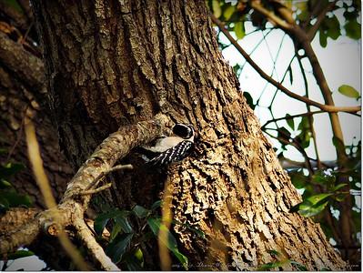 2014-12-27__C271675_Downy Woodpecker