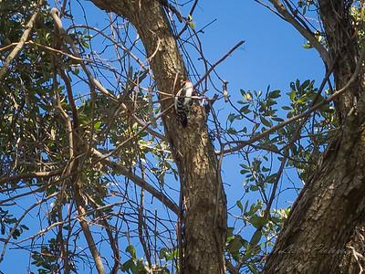 Downy woodpecker,2017-12-11-111203