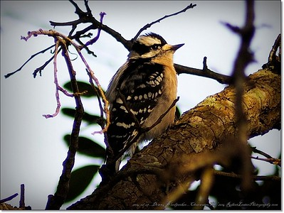 2014-12-27__C271974_Downy Woodpecker