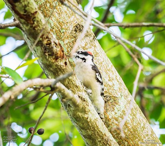 P1160025_ Downy  woodpecker