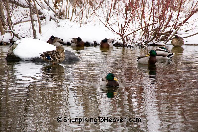 Ducks on Lagoon at Tenney Park, Madison, Wisconsin