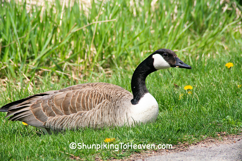 Canada Goose on a Spring Day, Dane County, Wisconsin