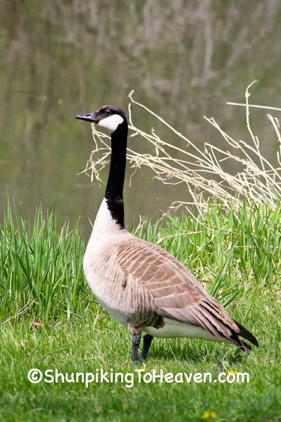 Canada Goose, Lake Wingra, Madison, Wisconsin
