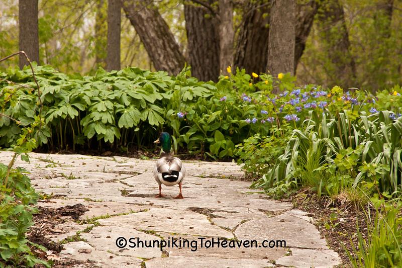 Mallard Duck on Path, Olbrich Botanical Gardens, Madison, Wisconsin