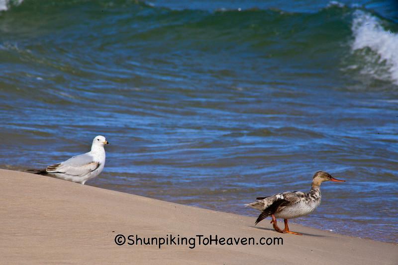 Ring-Billed Gull and Red-Breasted Merganser, Lake Michigan, Manistee, Michigan