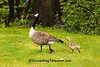 Canada Goose and Gosling, Cuyahoga County, Ohio