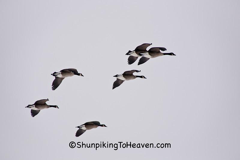 Canada Geese Flying, Waukesha County, Wisconsin