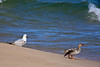 Ring-Billed Gull and Red-Breasted Merganser, Lake Michigan, Manistee, Michigan