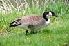 Canada Goose, Lake Wingra, Madison, Wisconsin