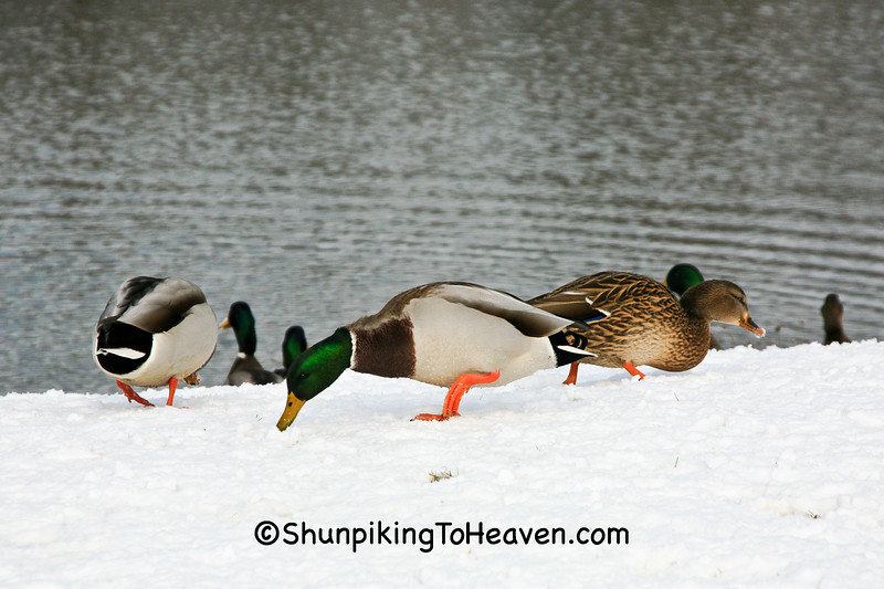 Mallard Ducks in Lakeview Park, Middleton, Wisconsin