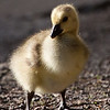 """gosling baby goose goslings wild wildlife  <div class=""""ss-paypal-button""""><br><form target=""""paypal"""" action=""""https://www.paypal.com/cgi-bin/webscr"""" method=""""post"""" ><input type=""""hidden"""" name=""""cmd"""" value=""""_cart""""><input type=""""hidden"""" name=""""business"""" value=""""947PXEXBHP9H8""""><input type=""""hidden"""" name=""""lc"""" value=""""US""""><input type=""""hidden"""" name=""""item_name"""" value=""""gosling baby goose goslings wild wildlife""""><input type=""""hidden"""" name=""""item_number"""" value=""""http:&#x2F;&#x2F;www.werthwildphotography.com&#x2F;Animals&#x2F;Birds&#x2F;Ducklings&#x2F;i-75Z4Ftg""""><input type=""""hidden"""" name=""""button_subtype"""" value=""""products""""><input type=""""hidden"""" name=""""no_note"""" value=""""0""""><input type=""""hidden"""" name=""""cn"""" value=""""Add special instructions to the seller:""""><input type=""""hidden"""" name=""""no_shipping"""" value=""""2""""><input type=""""hidden"""" name=""""currency_code"""" value=""""USD""""><input type=""""hidden"""" name=""""shipping"""" value=""""4.00""""><input type=""""hidden"""" name=""""add"""" value=""""1""""><input type=""""hidden"""" name=""""bn"""" value=""""PP-ShopCartBF:btn_cart_LG.gif:NonHosted""""><table class=""""printSize""""><tr><td><input type=""""hidden"""" name=""""on0"""" value=""""Print size"""">Print size</td></tr><tr><td><select name=""""os0""""> <option value=""""5 x 7"""">5 x 7 $14.00 USD</option> <option value=""""8 x 10"""">8 x 10 $20.00 USD</option> <option value=""""8 x 12"""">8 x 12 $20.00 USD</option> <option value=""""11 x 14"""">11 x 14 $28.00 USD</option> <option value=""""12 x 18"""">12 x 18 $35.00 USD</option> <option value=""""16 x 20"""">16 x 20 $50.00 USD</option></select> </td></tr></table><input type=""""hidden"""" name=""""currency_code"""" value=""""USD""""><input type=""""hidden"""" name=""""option_select0"""" value=""""5 x 7""""><input type=""""hidden"""" name=""""option_amount0"""" value=""""14.00""""><input type=""""hidden"""" name=""""option_select1"""" value=""""8 x 10""""><input type=""""hidden"""" name=""""option_amount1"""" value=""""20.00""""><input type=""""hidden"""" name=""""option_select2"""" value=""""8 x 12""""><input type=""""hidden"""" name=""""option_amount2"""" value=""""20.00""""><input type=""""hidden"""" name=""""option_select3"""" value=""""11 x 14""""><input type=""""hidden"""" name=""""option_amount3"""" value=""""28.00""""><input type=""""hidden"""