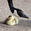 """This chick was the only chick that this goose hatched. It was quite a late hatch but this mother was protecting her only baby with all her might. Seen at the Crystal Springs Rhododendron Garden, Portland, Oregon  <div class=""""ss-paypal-button""""><br><form target=""""paypal"""" action=""""https://www.paypal.com/cgi-bin/webscr"""" method=""""post"""" ><input type=""""hidden"""" name=""""cmd"""" value=""""_cart""""><input type=""""hidden"""" name=""""business"""" value=""""947PXEXBHP9H8""""><input type=""""hidden"""" name=""""lc"""" value=""""US""""><input type=""""hidden"""" name=""""item_name"""" value=""""This chick was the only chick that this goose hatched. It was quite a late hatch but this mother was protecting her only baby with all her might. Seen at the Crystal Springs Rhododendron Garden, Portland, Oregon""""><input type=""""hidden"""" name=""""item_number"""" value=""""http:&#x2F;&#x2F;www.werthwildphotography.com&#x2F;Animals&#x2F;Birds&#x2F;Ducklings&#x2F;i-KLs7RnB""""><input type=""""hidden"""" name=""""button_subtype"""" value=""""products""""><input type=""""hidden"""" name=""""no_note"""" value=""""0""""><input type=""""hidden"""" name=""""cn"""" value=""""Add special instructions to the seller:""""><input type=""""hidden"""" name=""""no_shipping"""" value=""""2""""><input type=""""hidden"""" name=""""currency_code"""" value=""""USD""""><input type=""""hidden"""" name=""""shipping"""" value=""""4.00""""><input type=""""hidden"""" name=""""add"""" value=""""1""""><input type=""""hidden"""" name=""""bn"""" value=""""PP-ShopCartBF:btn_cart_LG.gif:NonHosted""""><table class=""""printSize""""><tr><td><input type=""""hidden"""" name=""""on0"""" value=""""Print size"""">Print size</td></tr><tr><td><select name=""""os0""""> <option value=""""5 x 7"""">5 x 7 $14.00 USD</option> <option value=""""8 x 10"""">8 x 10 $20.00 USD</option> <option value=""""8 x 12"""">8 x 12 $20.00 USD</option> <option value=""""11 x 14"""">11 x 14 $28.00 USD</option> <option value=""""12 x 18"""">12 x 18 $35.00 USD</option> <option value=""""16 x 20"""">16 x 20 $50.00 USD</option></select> </td></tr></table><input type=""""hidden"""" name=""""currency_code"""" value=""""USD""""><input type=""""hidden"""" name=""""option_select0"""" value=""""5 x 7""""><input type=""""hidden"""" name=""""option_amount0"""" value=""""14.00""""><input type=""""hidden"""" name"""