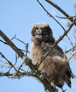 A great horned owlet seen after it fledged its nest at Ridgefield National Wildlife Refuge in Washington state.  Print size 5 x 7 $14.00 USD 8 x 10 $20.00 USD 8 x 12 $20.00 USD 11 x 14 $28.00 USD 12 x 18 $35.00 USD 16 x 20 $50.00 USD