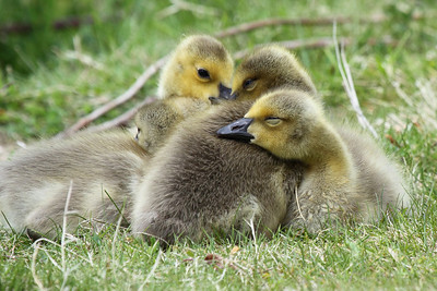 Goslings huddled together for a nap. Seen at the Kohl Center Wetlands Pond in Beaverton, Oregon  Print size 5 x 7 $14.00 USD 8 x 10 $20.00 USD 8 x 12 $20.00 USD 11 x 14 $28.00 USD 12 x 18 $35.00 USD 16 x 20 $50.00 USD