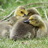 """Goslings huddled together for a nap. Seen at the Kohl Center Wetlands Pond in Beaverton, Oregon  <div class=""""ss-paypal-button""""><br><form target=""""paypal"""" action=""""https://www.paypal.com/cgi-bin/webscr"""" method=""""post"""" ><input type=""""hidden"""" name=""""cmd"""" value=""""_cart""""><input type=""""hidden"""" name=""""business"""" value=""""947PXEXBHP9H8""""><input type=""""hidden"""" name=""""lc"""" value=""""US""""><input type=""""hidden"""" name=""""item_name"""" value=""""Goslings huddled together for a nap. Seen at the Kohl Center Wetlands Pond in Beaverton, Oregon""""><input type=""""hidden"""" name=""""item_number"""" value=""""http:&#x2F;&#x2F;www.werthwildphotography.com&#x2F;Animals&#x2F;Birds&#x2F;Ducklings&#x2F;i-phc36Jz""""><input type=""""hidden"""" name=""""button_subtype"""" value=""""products""""><input type=""""hidden"""" name=""""no_note"""" value=""""0""""><input type=""""hidden"""" name=""""cn"""" value=""""Add special instructions to the seller:""""><input type=""""hidden"""" name=""""no_shipping"""" value=""""2""""><input type=""""hidden"""" name=""""currency_code"""" value=""""USD""""><input type=""""hidden"""" name=""""shipping"""" value=""""4.00""""><input type=""""hidden"""" name=""""add"""" value=""""1""""><input type=""""hidden"""" name=""""bn"""" value=""""PP-ShopCartBF:btn_cart_LG.gif:NonHosted""""><table class=""""printSize""""><tr><td><input type=""""hidden"""" name=""""on0"""" value=""""Print size"""">Print size</td></tr><tr><td><select name=""""os0""""> <option value=""""5 x 7"""">5 x 7 $14.00 USD</option> <option value=""""8 x 10"""">8 x 10 $20.00 USD</option> <option value=""""8 x 12"""">8 x 12 $20.00 USD</option> <option value=""""11 x 14"""">11 x 14 $28.00 USD</option> <option value=""""12 x 18"""">12 x 18 $35.00 USD</option> <option value=""""16 x 20"""">16 x 20 $50.00 USD</option></select> </td></tr></table><input type=""""hidden"""" name=""""currency_code"""" value=""""USD""""><input type=""""hidden"""" name=""""option_select0"""" value=""""5 x 7""""><input type=""""hidden"""" name=""""option_amount0"""" value=""""14.00""""><input type=""""hidden"""" name=""""option_select1"""" value=""""8 x 10""""><input type=""""hidden"""" name=""""option_amount1"""" value=""""20.00""""><input type=""""hidden"""" name=""""option_select2"""" value=""""8 x 12""""><input type=""""hidden"""" name=""""option_amount2"""" value=""""20.00""""><input type=""""hidden"""" name="""""""
