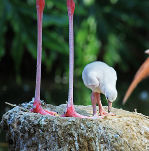 """How come my legs aren't as long as yours?""  A flamingo chick seen at the Barcelona Zoo, Spain.  Print size 5 x 7 $14.00 USD 8 x 10 $20.00 USD 8 x 12 $20.00 USD 11 x 14 $28.00 USD 12 x 18 $35.00 USD 16 x 20 $50.00 USD"