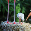 """""""How come my legs aren't as long as yours?""""  A flamingo chick seen at the Barcelona Zoo, Spain.  <div class=""""ss-paypal-button""""><br><form target=""""paypal"""" action=""""https://www.paypal.com/cgi-bin/webscr"""" method=""""post"""" ><input type=""""hidden"""" name=""""cmd"""" value=""""_cart""""><input type=""""hidden"""" name=""""business"""" value=""""947PXEXBHP9H8""""><input type=""""hidden"""" name=""""lc"""" value=""""US""""><input type=""""hidden"""" name=""""item_name"""" value=""""&quot;How come my legs aren&#x27;t as long as yours?&quot;  A flamingo chick seen at the Barcelona Zoo, Spain.""""><input type=""""hidden"""" name=""""item_number"""" value=""""http:&#x2F;&#x2F;www.werthwildphotography.com&#x2F;Animals&#x2F;Birds&#x2F;Ducklings&#x2F;i-w8wxWFb""""><input type=""""hidden"""" name=""""button_subtype"""" value=""""products""""><input type=""""hidden"""" name=""""no_note"""" value=""""0""""><input type=""""hidden"""" name=""""cn"""" value=""""Add special instructions to the seller:""""><input type=""""hidden"""" name=""""no_shipping"""" value=""""2""""><input type=""""hidden"""" name=""""currency_code"""" value=""""USD""""><input type=""""hidden"""" name=""""shipping"""" value=""""4.00""""><input type=""""hidden"""" name=""""add"""" value=""""1""""><input type=""""hidden"""" name=""""bn"""" value=""""PP-ShopCartBF:btn_cart_LG.gif:NonHosted""""><table class=""""printSize""""><tr><td><input type=""""hidden"""" name=""""on0"""" value=""""Print size"""">Print size</td></tr><tr><td><select name=""""os0""""> <option value=""""5 x 7"""">5 x 7 $14.00 USD</option> <option value=""""8 x 10"""">8 x 10 $20.00 USD</option> <option value=""""8 x 12"""">8 x 12 $20.00 USD</option> <option value=""""11 x 14"""">11 x 14 $28.00 USD</option> <option value=""""12 x 18"""">12 x 18 $35.00 USD</option> <option value=""""16 x 20"""">16 x 20 $50.00 USD</option></select> </td></tr></table><input type=""""hidden"""" name=""""currency_code"""" value=""""USD""""><input type=""""hidden"""" name=""""option_select0"""" value=""""5 x 7""""><input type=""""hidden"""" name=""""option_amount0"""" value=""""14.00""""><input type=""""hidden"""" name=""""option_select1"""" value=""""8 x 10""""><input type=""""hidden"""" name=""""option_amount1"""" value=""""20.00""""><input type=""""hidden"""" name=""""option_select2"""" value=""""8 x 12""""><input type=""""hidden"""" name=""""option_amount2"""" value=""""20.00""""><input type="""