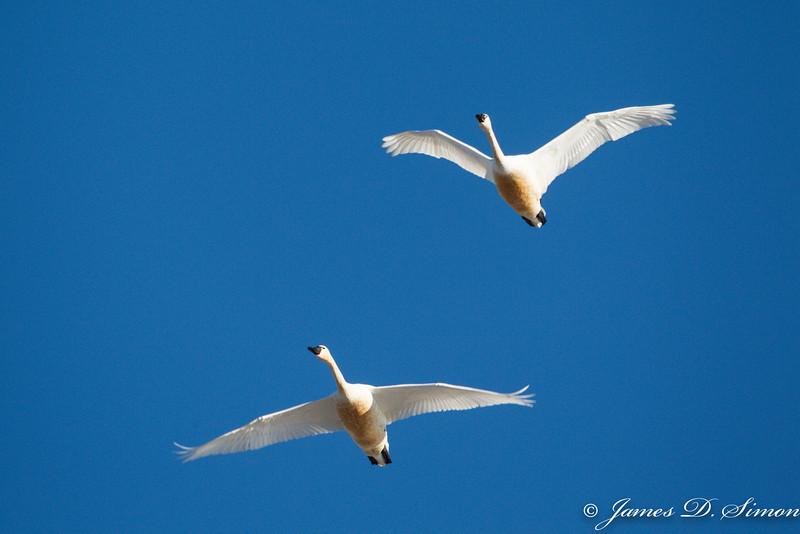 Tundra Swans-6831