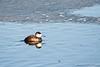 Ruddy Duck-6710