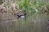 Wood Duck Pair (2)