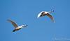 Tundra Swans-7962