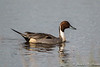 Nothern Pintail-2211