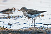Spotted Sandpiper, Actitis macularius, La Plata County, Colorado, USA, North America