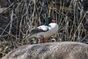 Common Merganser, Mergus merganser, La Plata County, Colorado, USA, North America